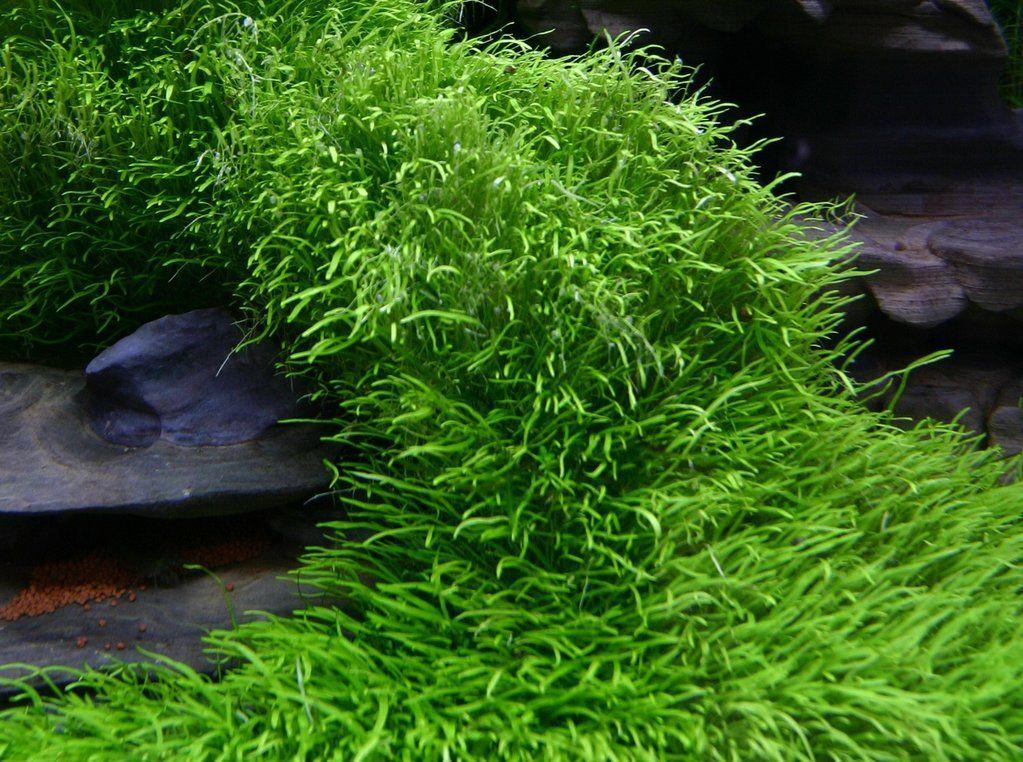 IC205 ADA Tissue Culture Plant - Utricularia Graminifolia