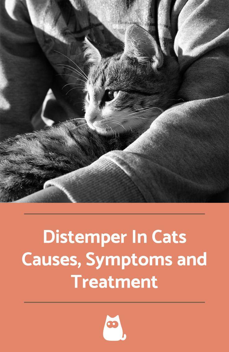 Distemper in Cats Feline distemper, Cats, Pet care