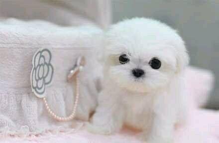 Pom Cutie 3 Teacup Puppies Cute Baby Animals Cute Animals