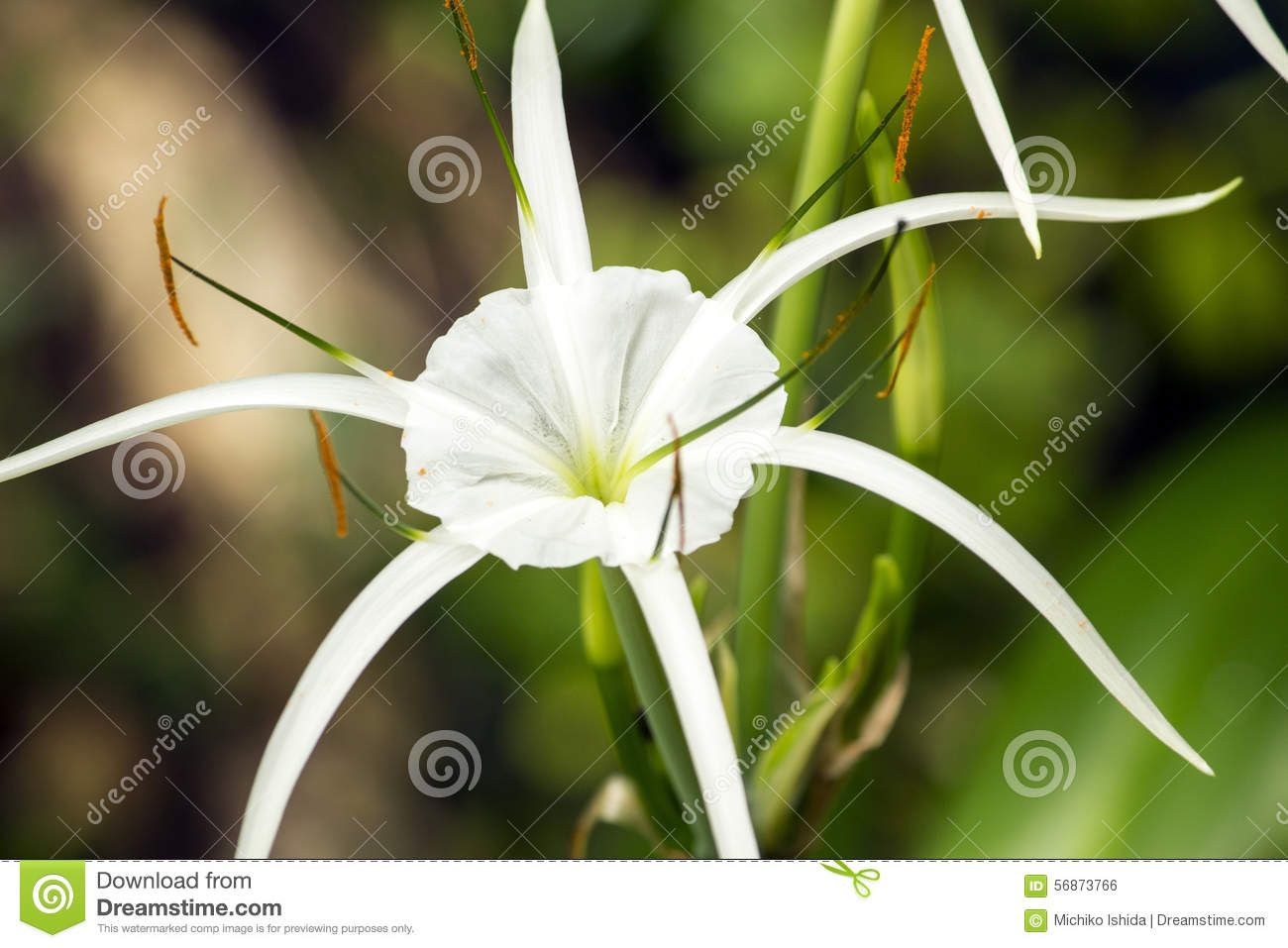 White lily like flower spider lily has long skinny petals 56873766 white lily like flower spider lily has long izmirmasajfo Image collections