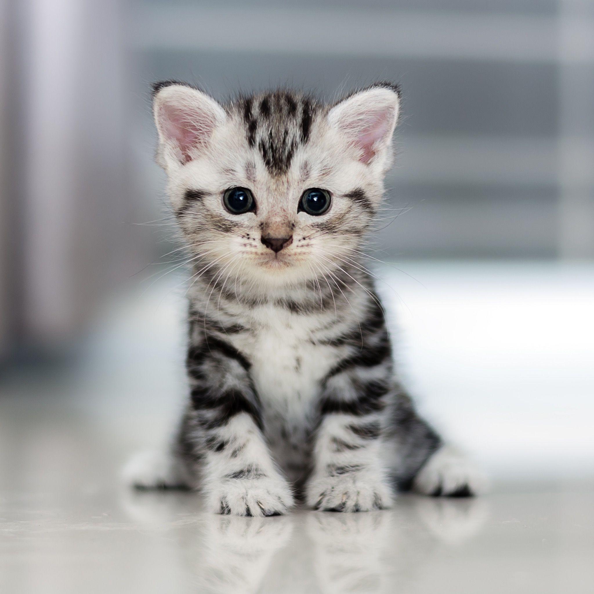 Little Darling American Shorthair Kitten Cute Cat Breeds