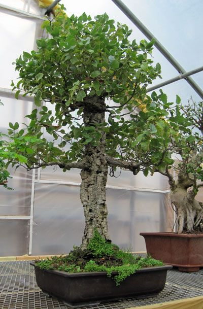 Cork Oak Bonsai Nursery Bonsai Tree Japanese Garden
