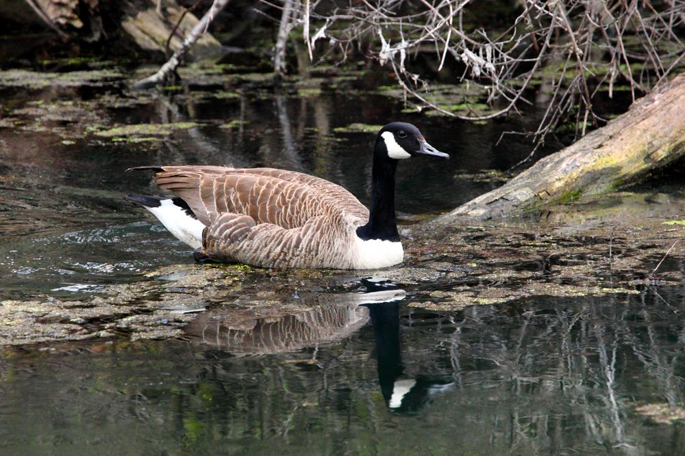 Canadian goose in Woodmans Pond