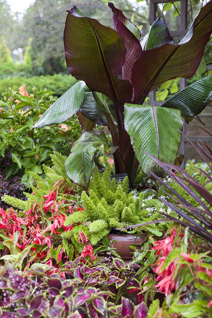 PHOTO: Musa, Begonia, and foxtail ferns. Terrific trios for pots