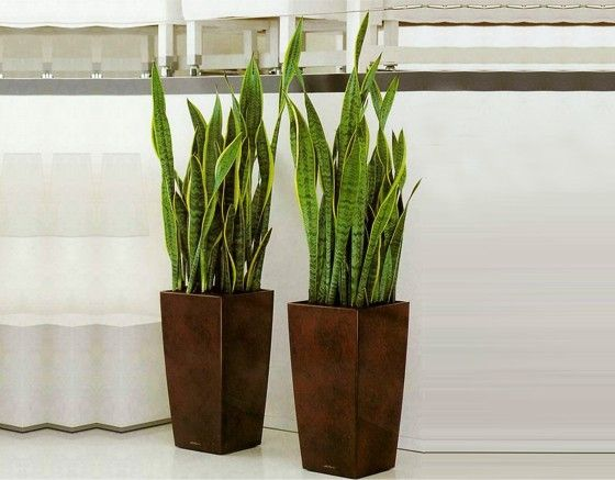 inspiration tall indoor house plants. Mother In Law s Tongue  aka Snake Plant in planters dark brown Tall Indoor