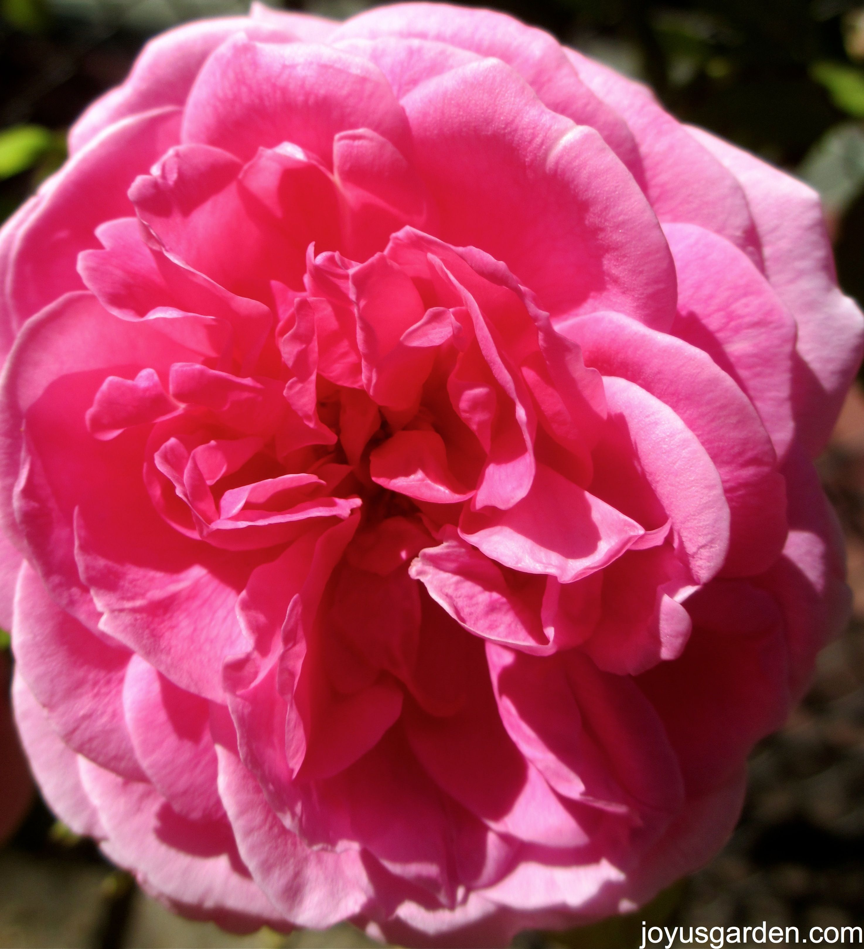 gertrude jekyll a david austin this is my favourite rose. Black Bedroom Furniture Sets. Home Design Ideas