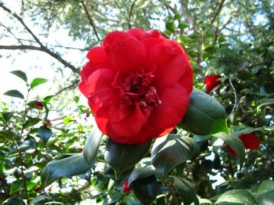 Growing Camellias How To Propagate Camellias Camellia Plant Flower Farm Propagating Plants