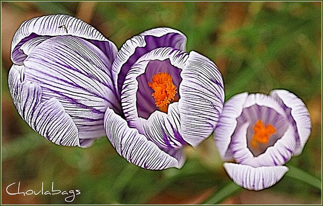 Beauty In Everything - Crocus2