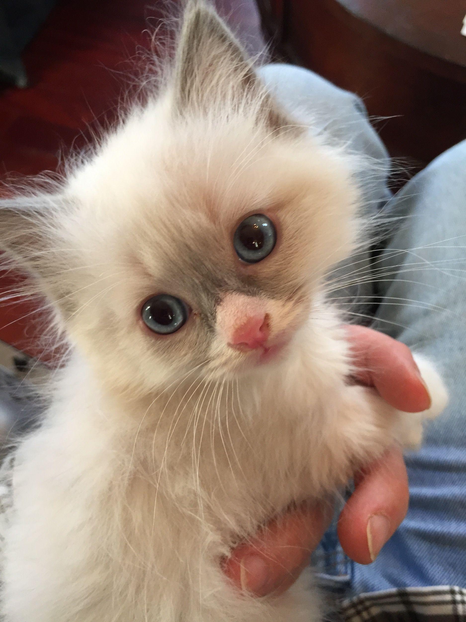 ragdoll kittens - Google Search