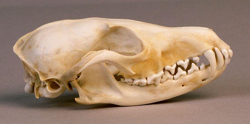 Red Fox Skull Httpskullsiteredfoxredfoxlatm
