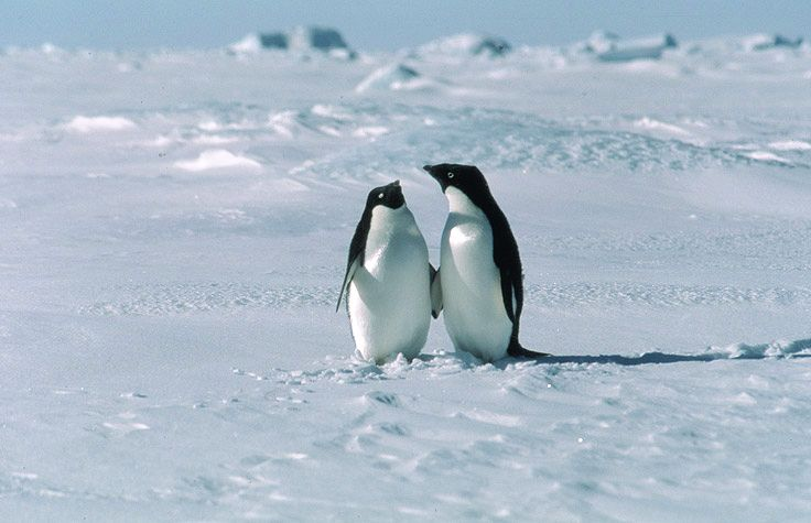 picture of adelie penguins on sea ice