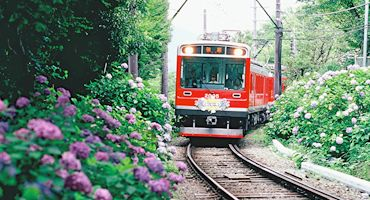 Image result for hakone ajisai