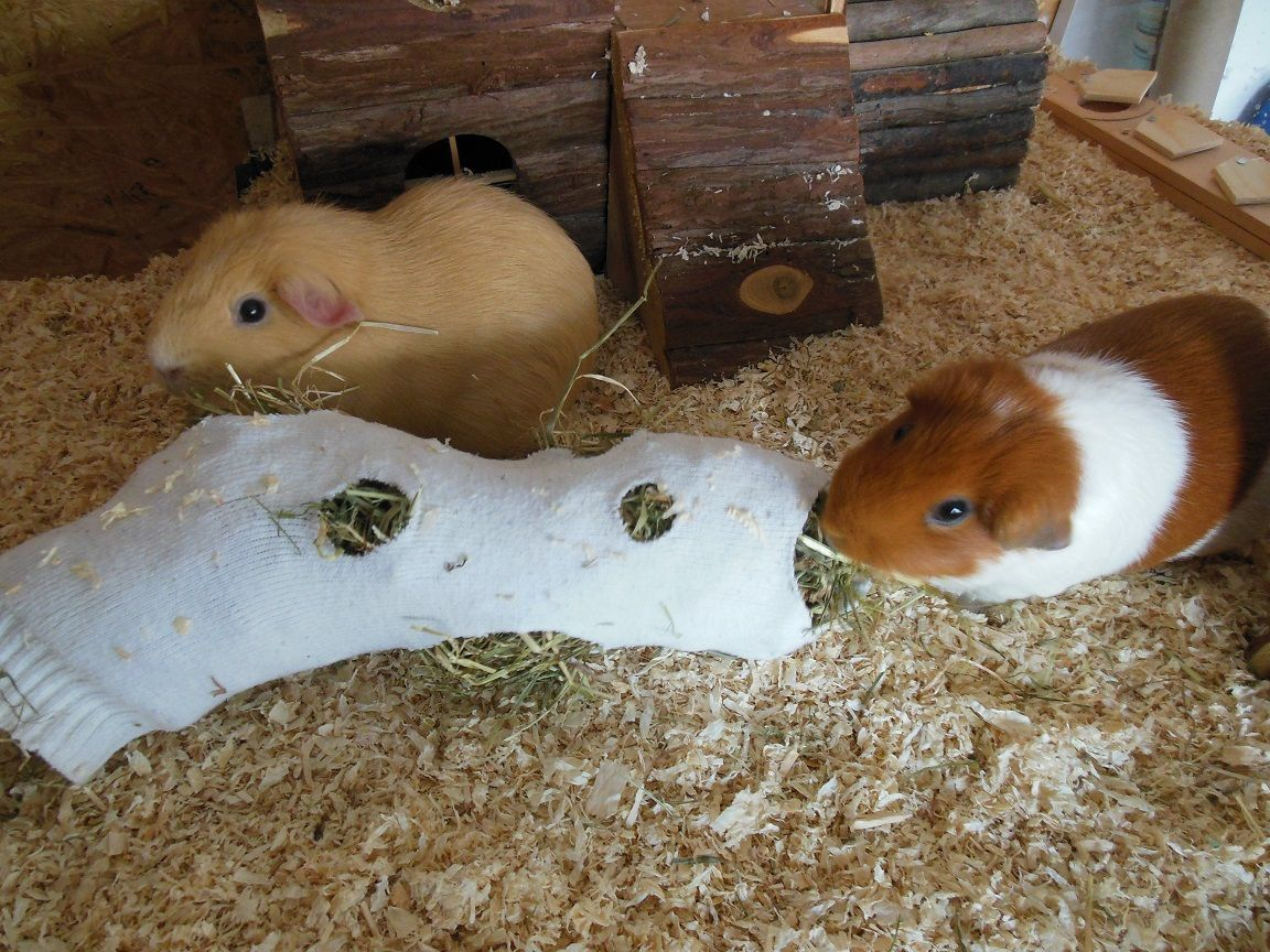Pin On Self Made Accessories For Guinea Pigs