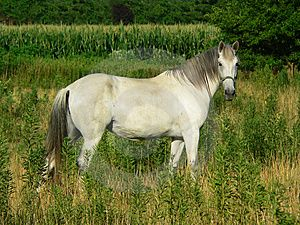 Beautiful Gray Horse, Horizontal Full Profile Stock Images