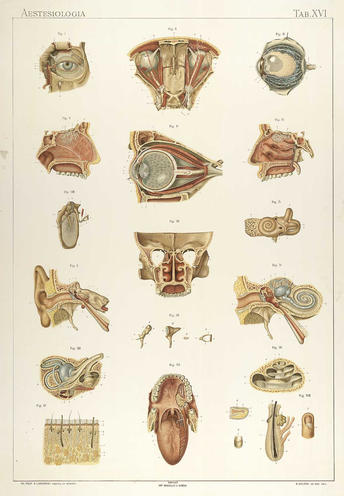 The structures of sensory organs, Sigismond Laskowski. Particularly ...