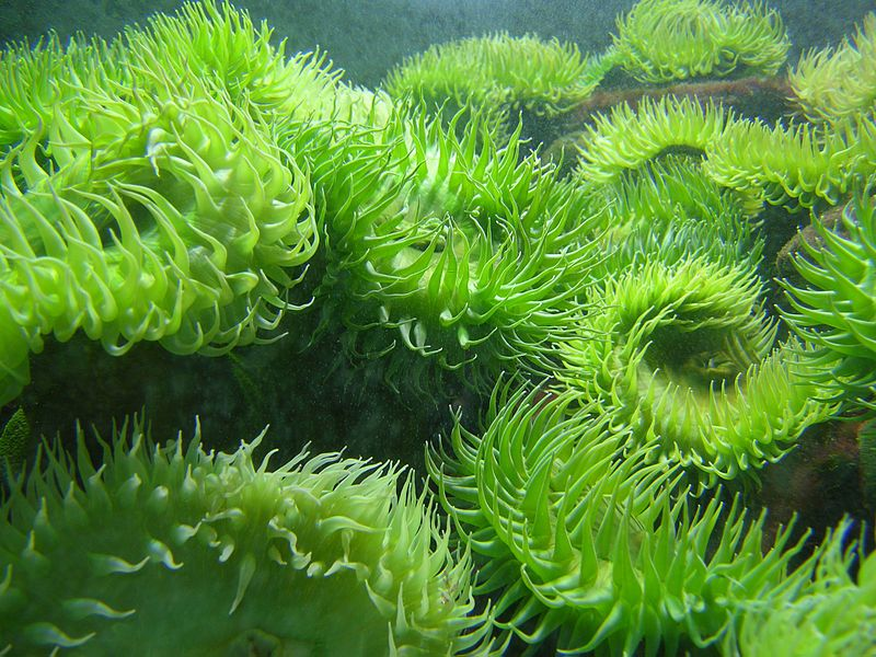 Giant green anemone (A. xanthogrammica) at the New England ...