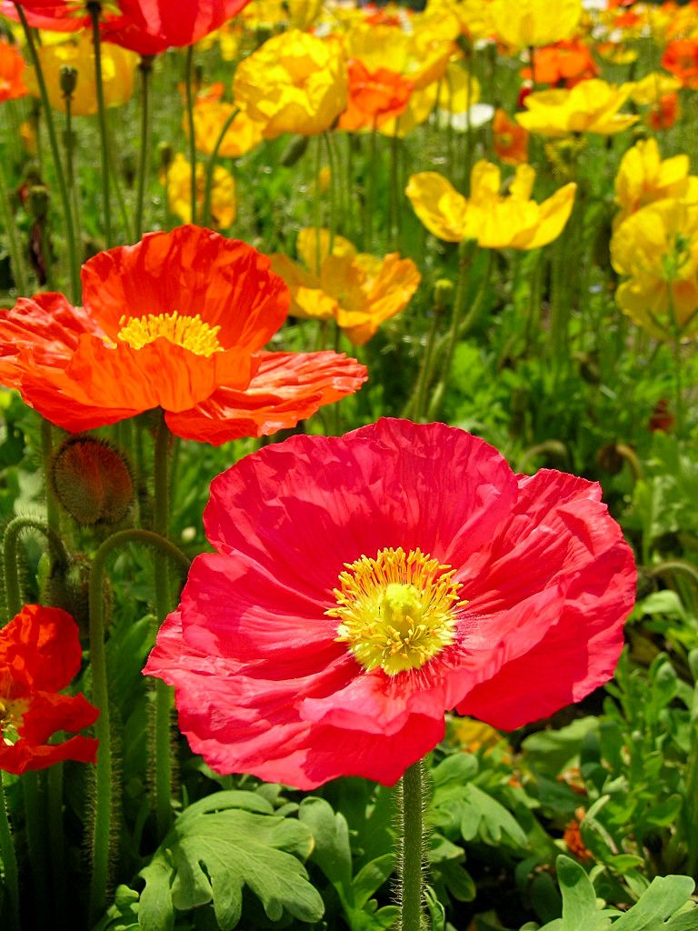 Iceland Poppies from my garden   Art - Future painting ideas ...