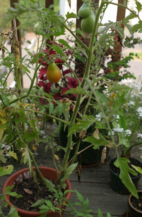 Growing Tomatoes in Containers: Dangerously Delicious - Vegetable Gardener
