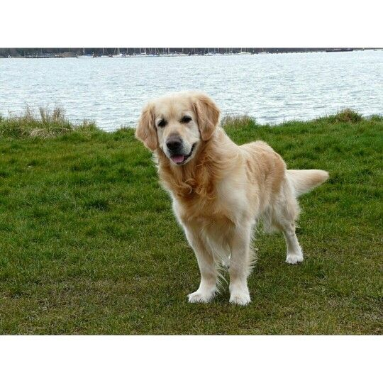 Golden Retriever Facts 3 Of 10 Size Of Golden Retriever The