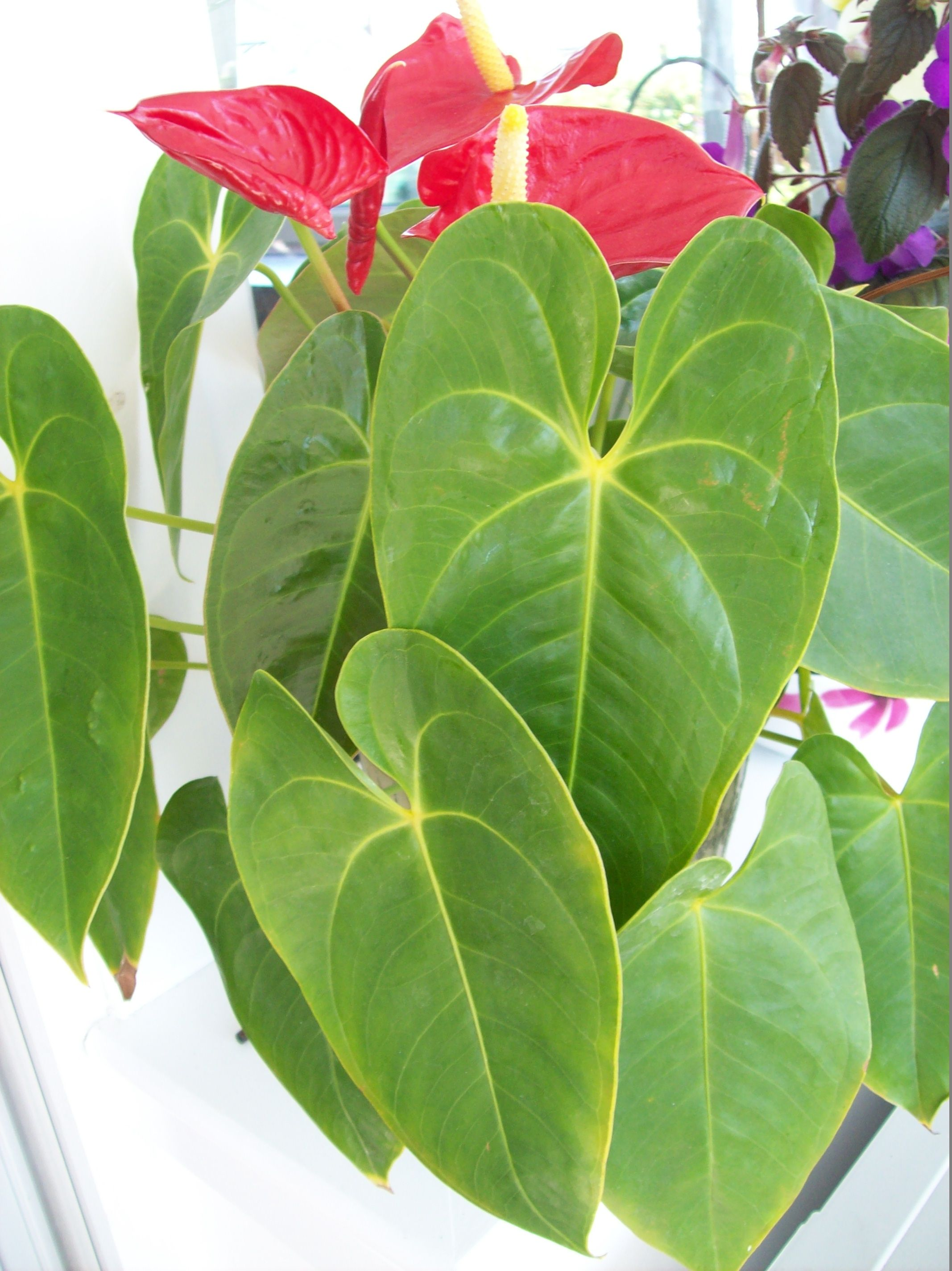 Beautiful Leaves On The Anthurium Plant H