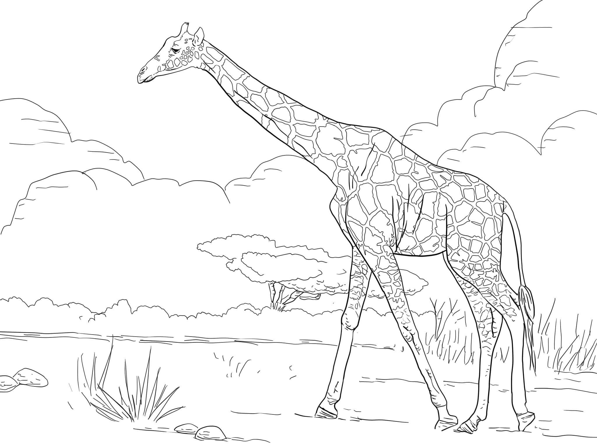 Giraffe Forage On Land Field Coloring Pages For Kids Dbz Printable Giraffes Coloring Pages For Kids Giraffe Coloring Pages Giraffe Coloring Pages For Kids