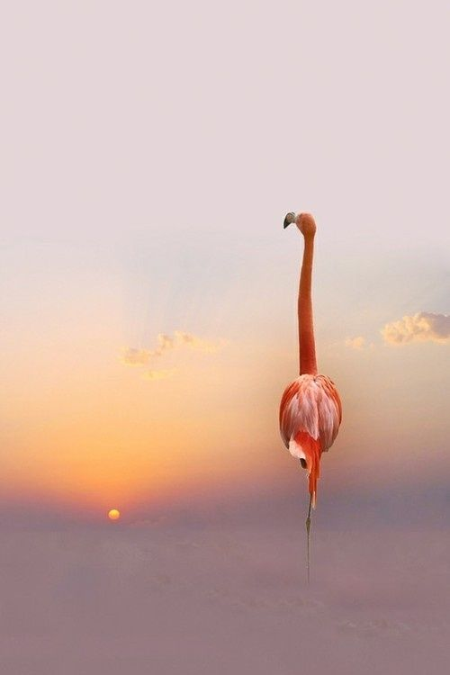 greater flamingo by judy