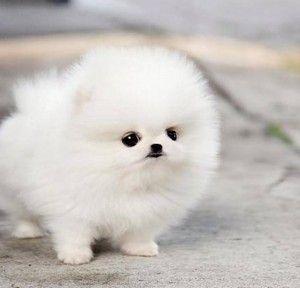 White Pomeranian Puppies Wallpaper