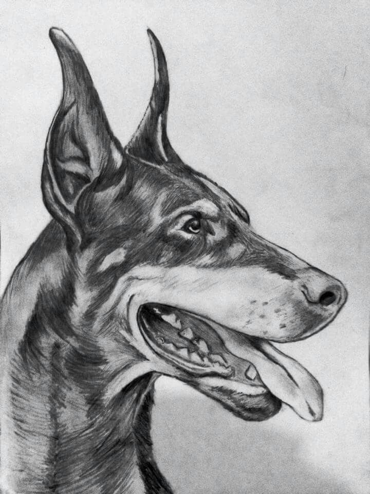 Doberman Pencil Drawing With Images Dog Drawing Dog Art