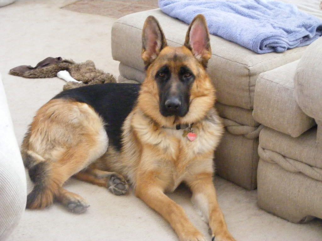 Ear Stages A Pictorial German Shepherd Dog Forums German
