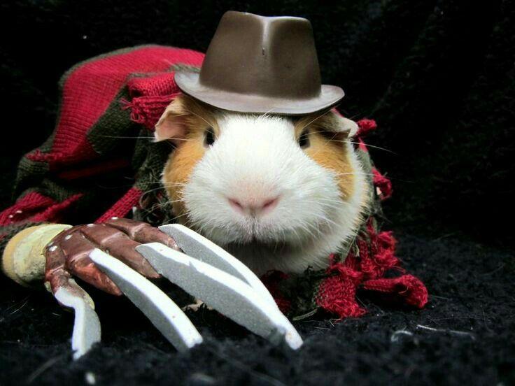 Freddy Krueger Guinea Pig He\u0027ll nibble at your nightmares! Too