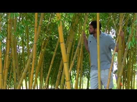 ornamental bamboo fence.htm yellow groove bamboo plants www tytyga com yellow groove  yellow groove bamboo plants www