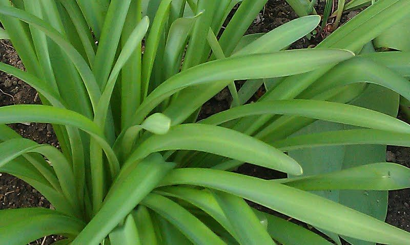Plant Of The Week Surprise Lilies Plants Lily Flower Flower Beds