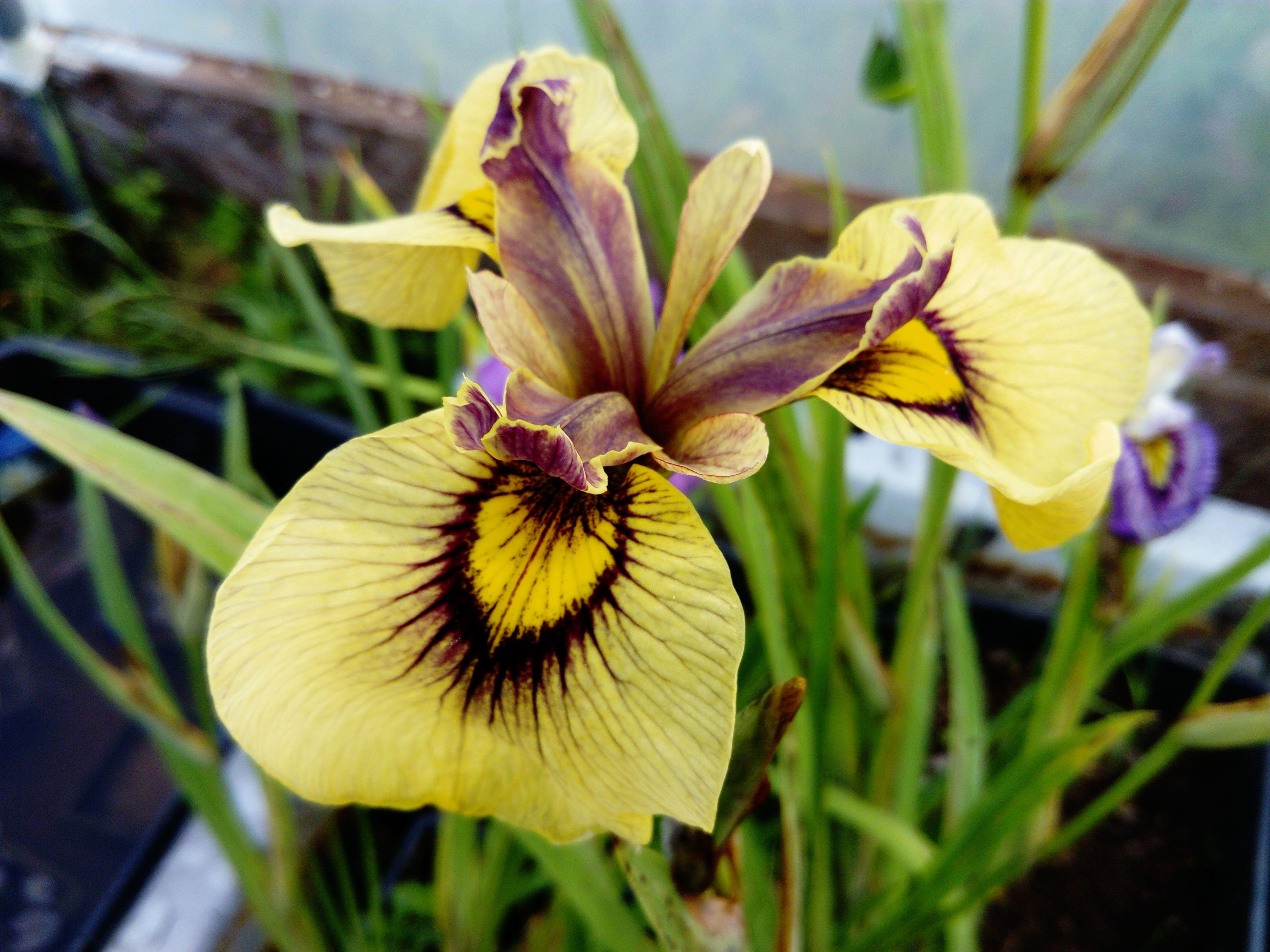 Iris pseudata iris pseudacorus x iris ensata iris pseudacorus iris pseudata iris pseudacorus x iris ensata izmirmasajfo