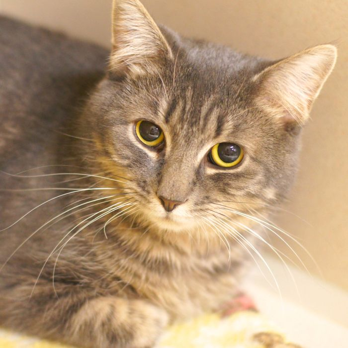 Gem Is Not Flashy Or Ostentatious Instead Gem Is Quiet A Little Reserved Once She Knows You Gem Will Sit On Your Lap And Pur Cat Adoption Grey Cats Cats