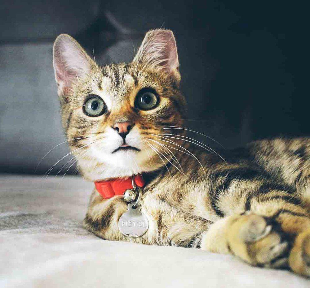 1151dba75f40165379dbcf19025dbc47 - How To Get My Cat To Wear A Collar