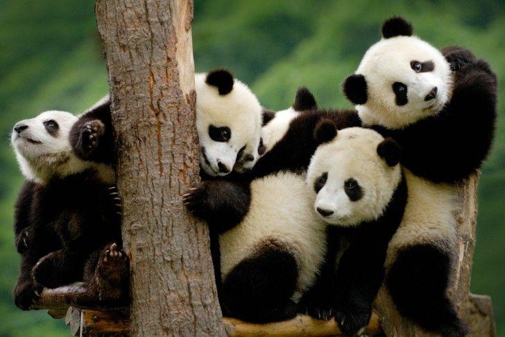 Giant panda cubs wallpapers