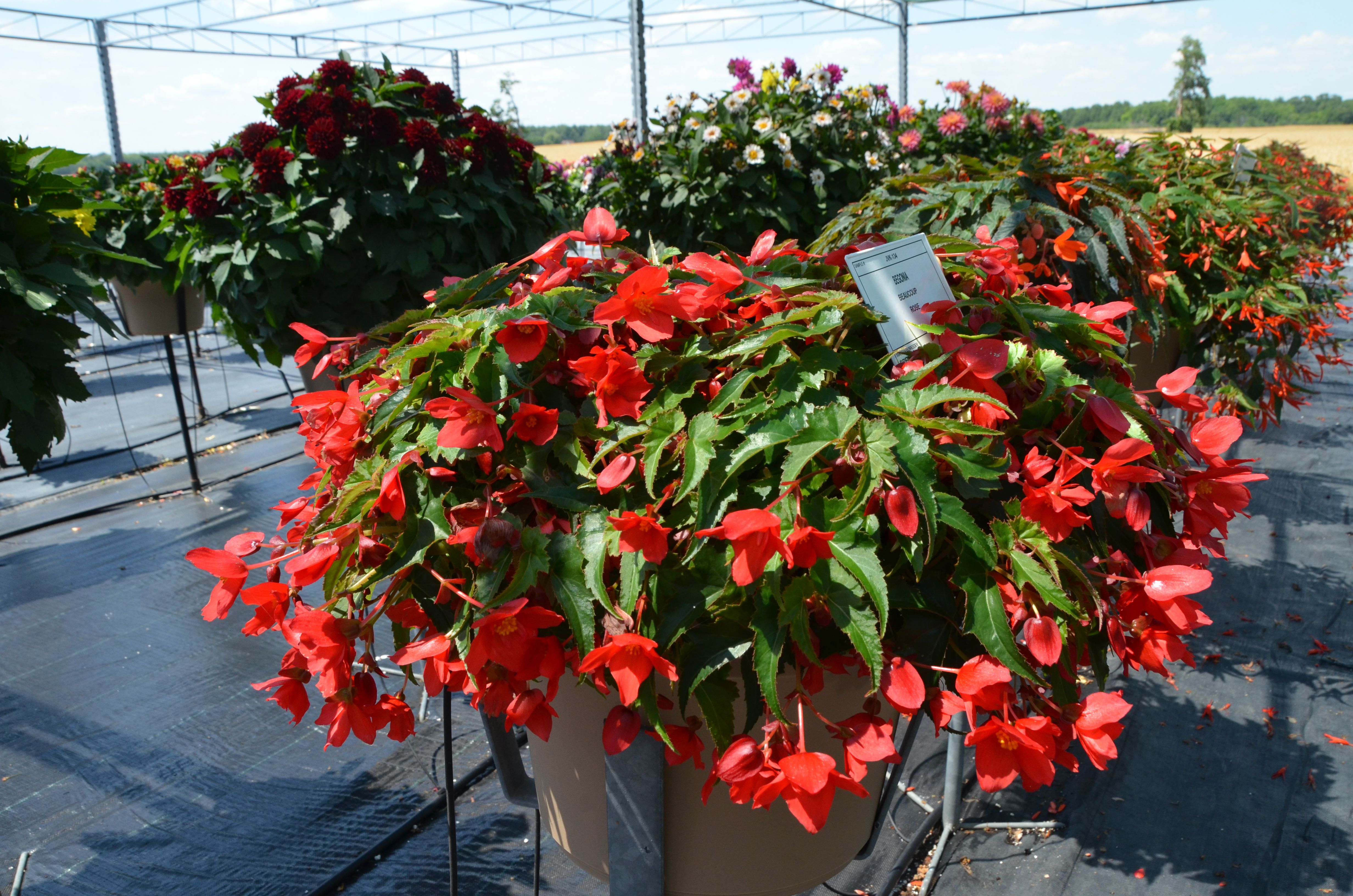 Begonia - Beaucoup Rose