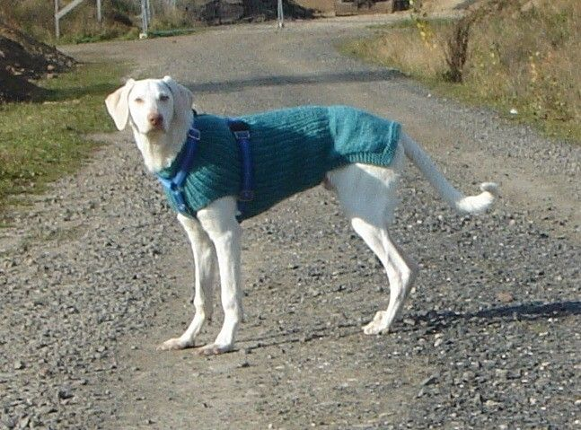 Hundepullover für Podenco, Pointer Segugio, Setter | Hundepullover ...