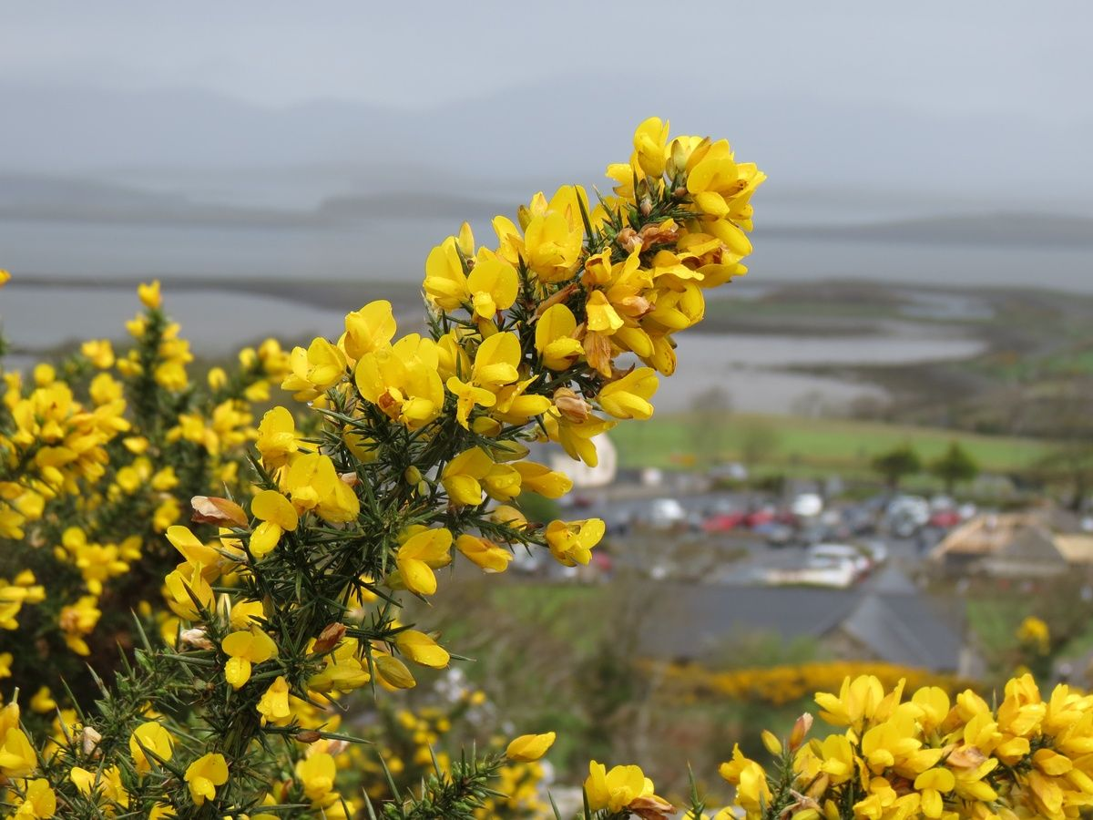 Gorse Bright Yellow Flowers That Smell Like Coconut Bloom From