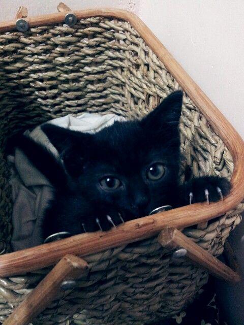 My 2 Months Old Half Persian Half Siamese Black Kitten