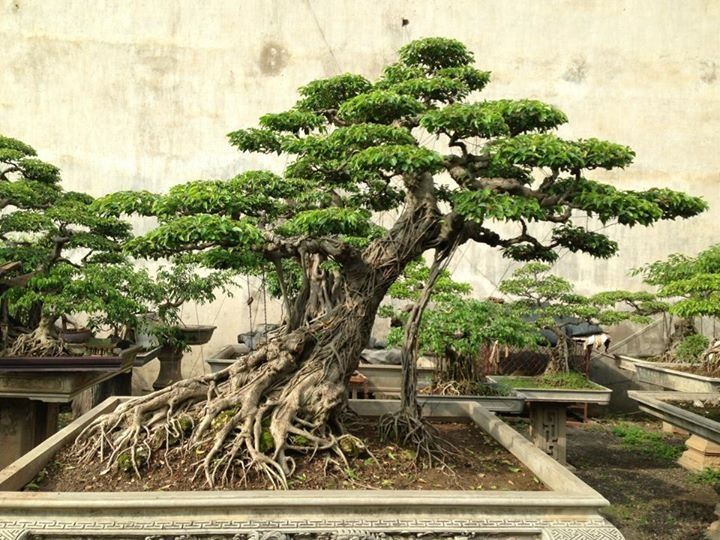 Vraiment beau bonsai pinterest bonsais bonsai y plantas for Vraiment beau