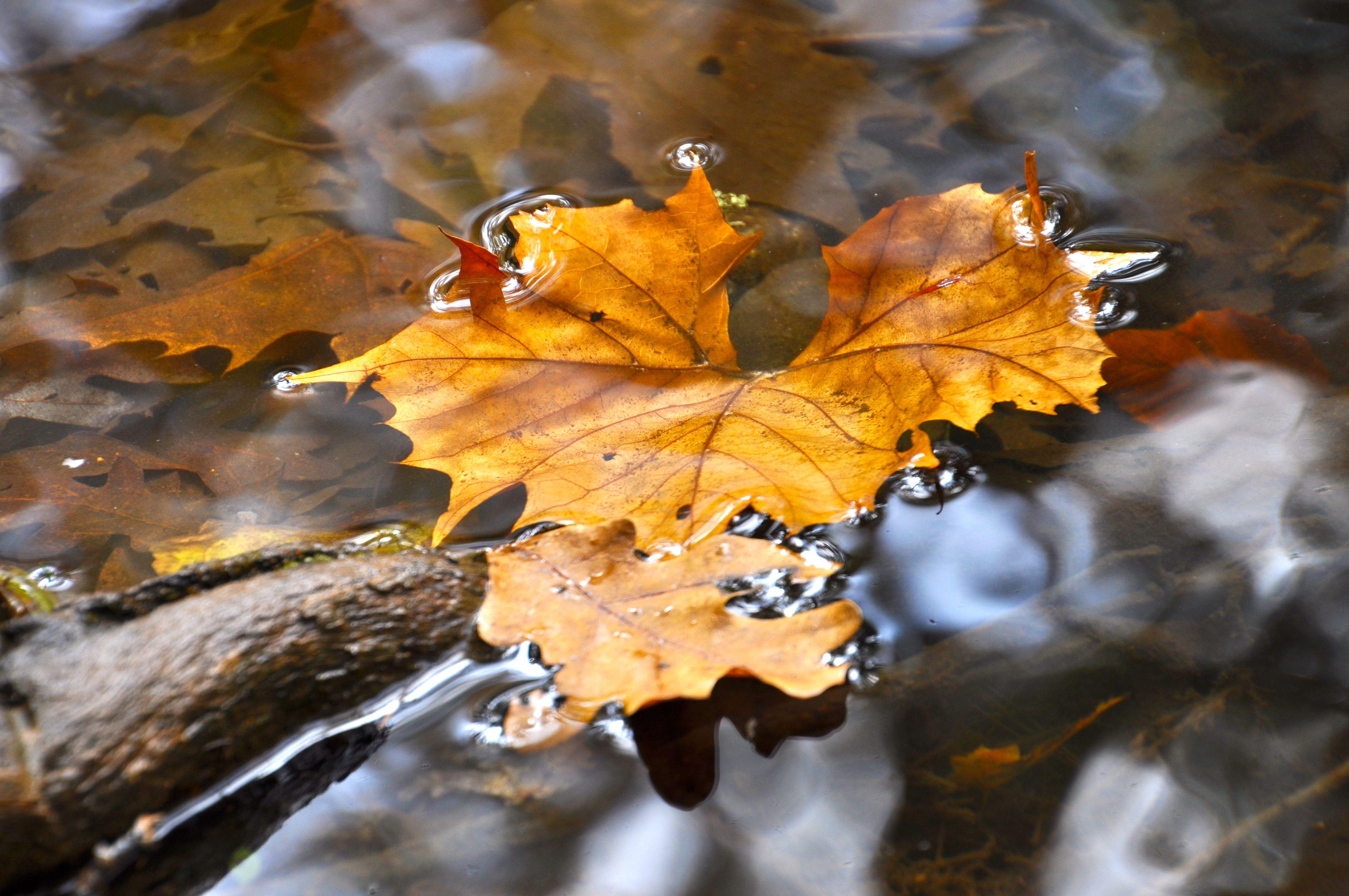 gatlinburg fall leaf