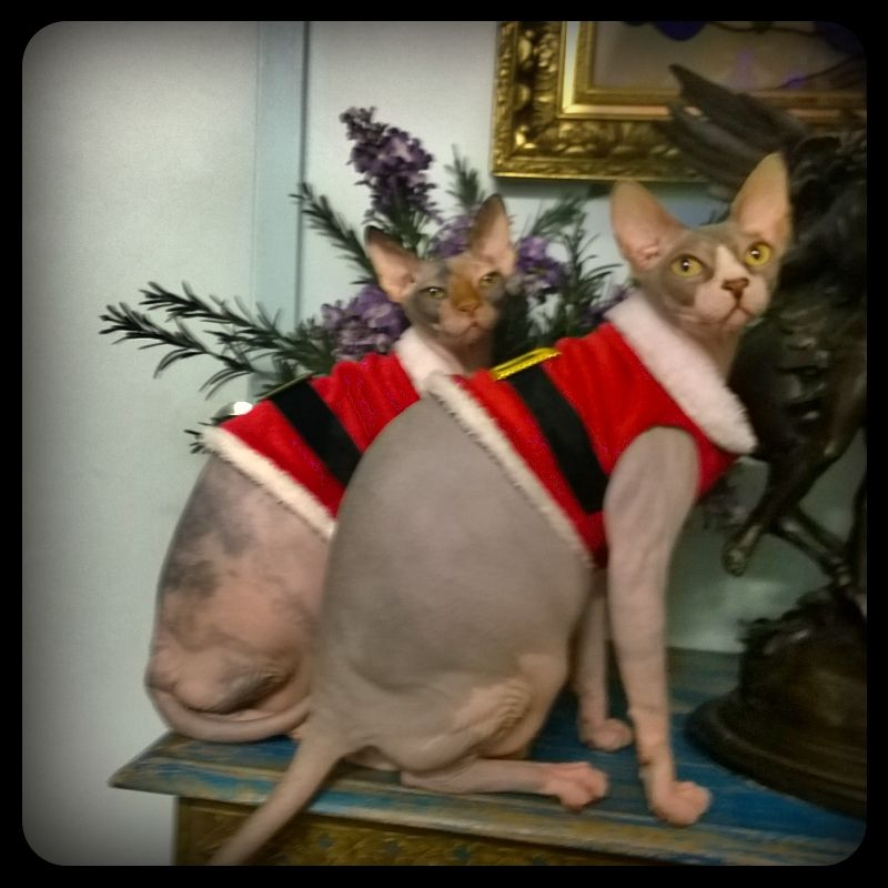 Zucky And Zooky The Most Cutest And Adorable Cats In The World Cute Photos Of Sphynx Cats For Sale Prints Post Kittens In Costumes Sphynx Cat Cat Costumes