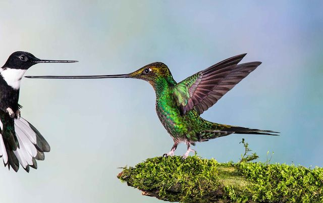 « Touché » by Jan van Der Greef, finalist 2014 — birds, the Netherlands.