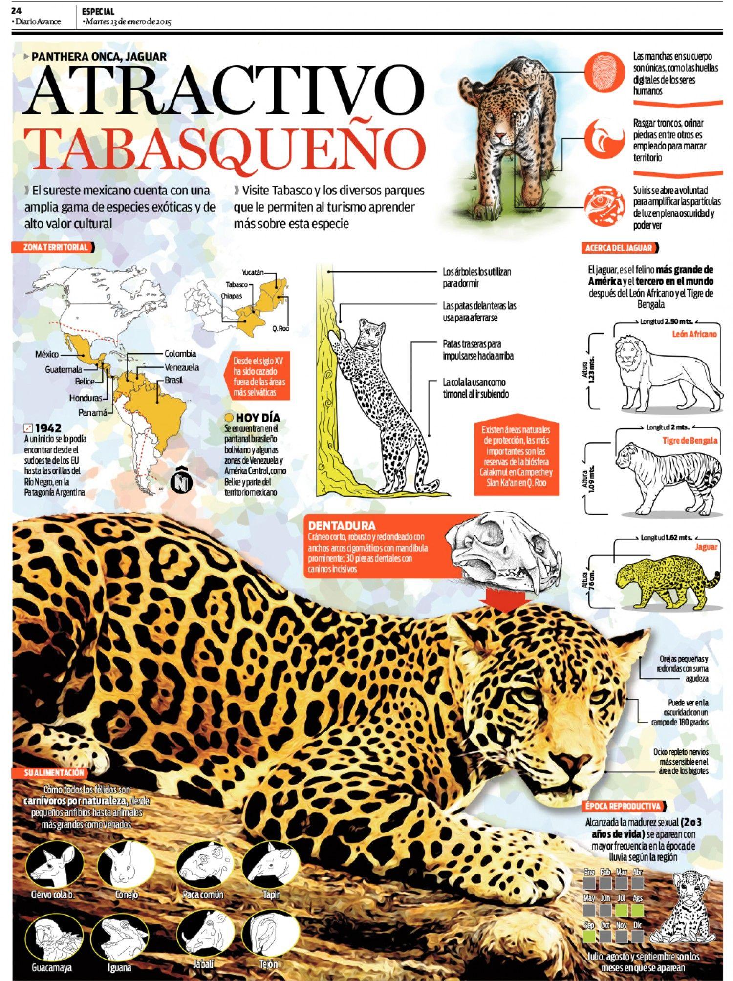 Jaguar Infographic   Jaguar (Panthera onca)   Pinterest