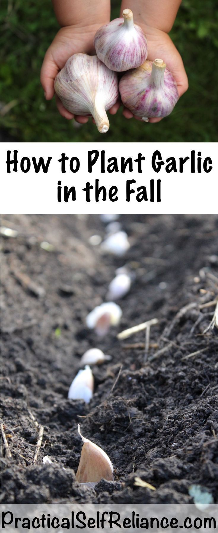 #Fall #Garlic #plant How to Plant Garlic in the Fall ...