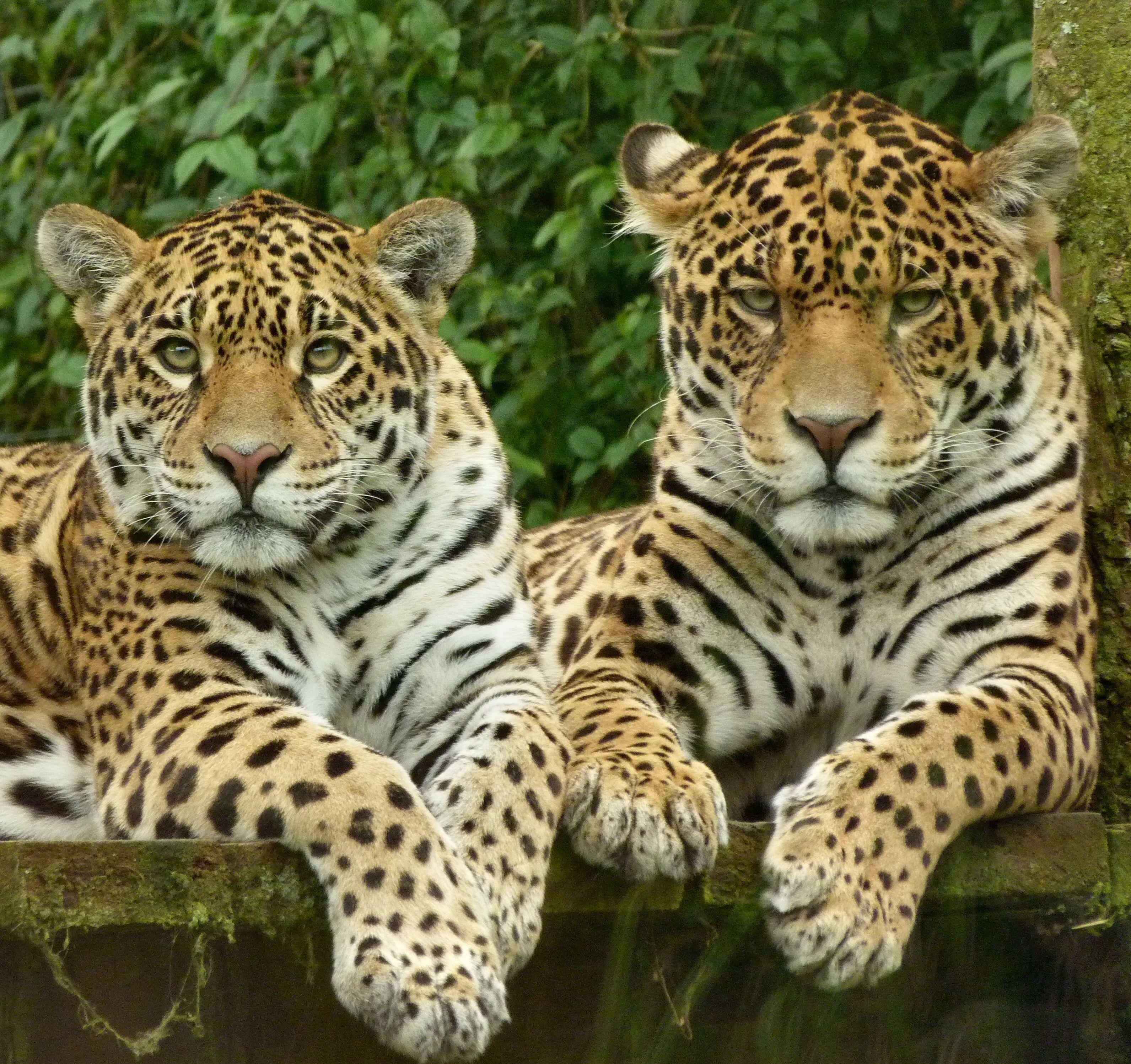 леопард животное фото чем отличается от ягуара решили праздник
