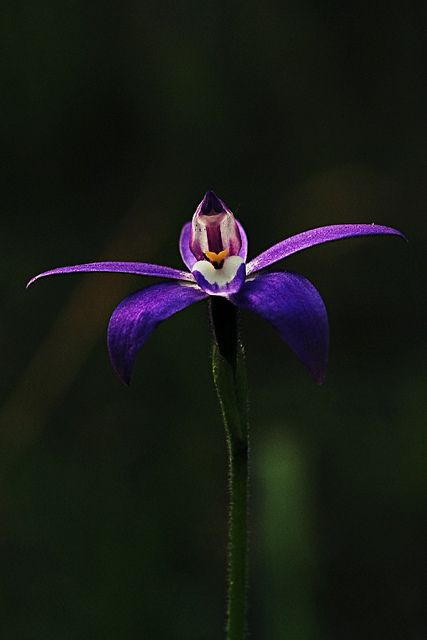 Parrot Orchid | Parrot Orchid 1 | Flickr - Photo Sharing!