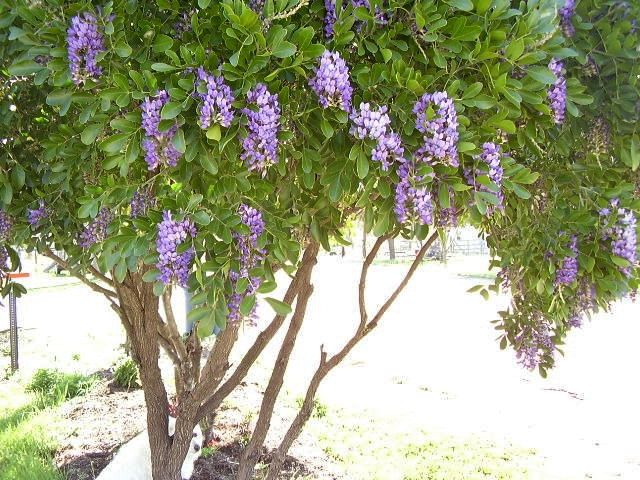 50 Texas Mountain Laurel Seeds Texas Mountain Laurel Mountain