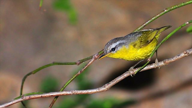 Grey-hooded Warbler  | Grey-hooded Warbler